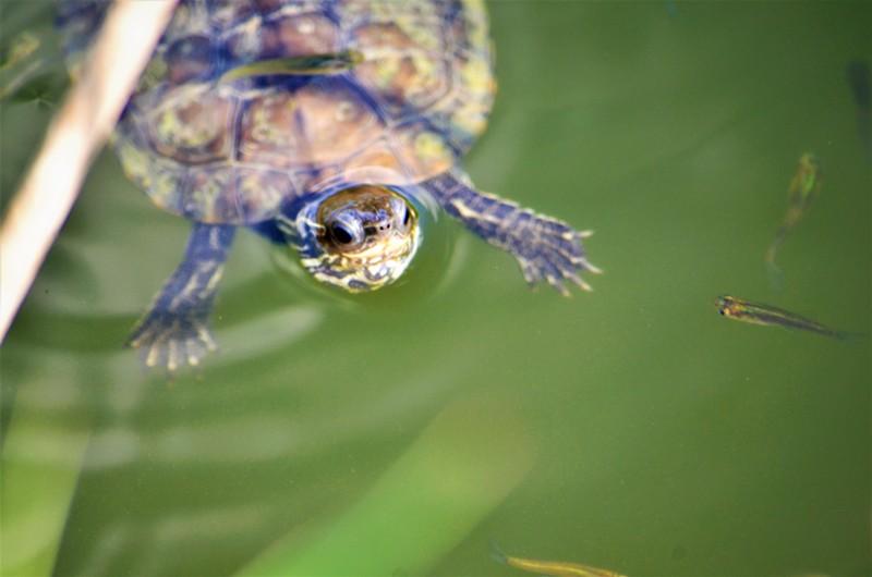 Turtle inside Mavrobara lake