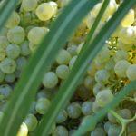 Grapes of Tsantali's vineyards