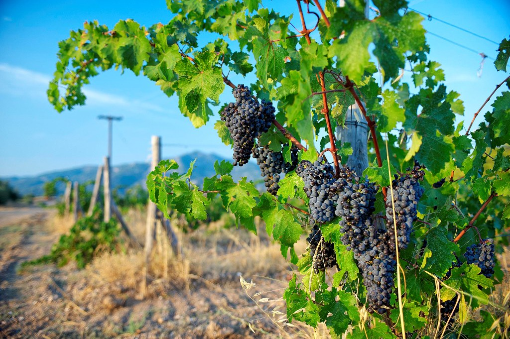 Grapes in Sithonia's vineyard