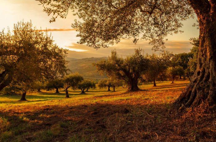 Table olive & olive oil