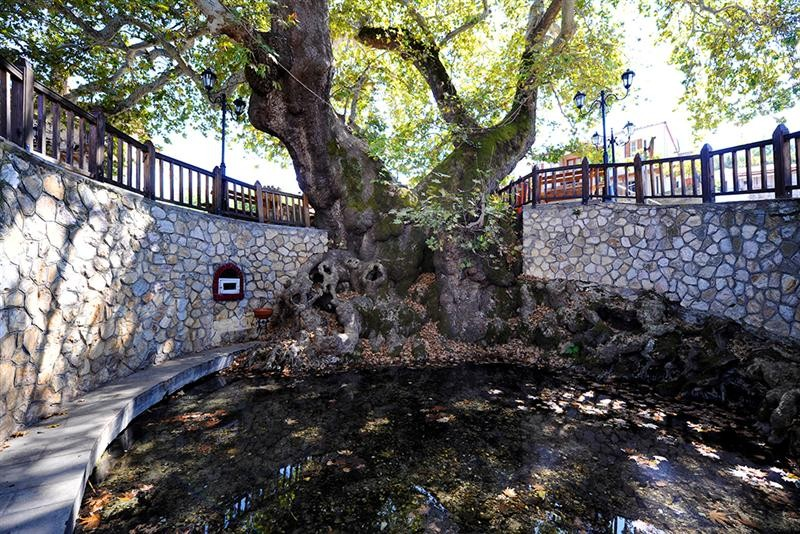 The oldest plane tree in Halkidiki