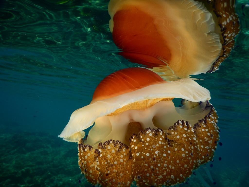 An amazing jellyfish in Halkidiki